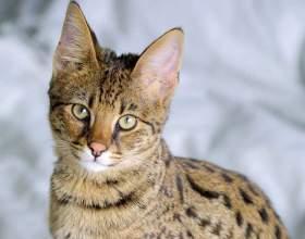 Сколько стоит котенок породы ашера фото
