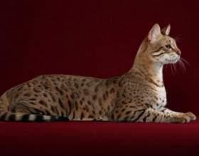 Сколько стоит котенок породы саванна фото