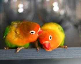 Сколько стоит попугай неразлучник фото