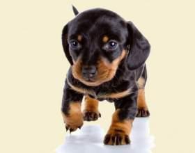 Сколько стоит щенок таксы фото