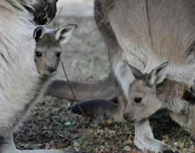 Сколько весит новорожденный кенгуру фото