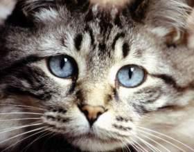 Сколько времени нужно кошкам для случки фото