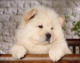 Собаки, похожие на медвежат: чау-чау и померанский шпиц фото