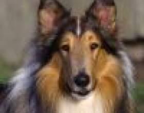 Собаки породы колли: некоторые особенности фото