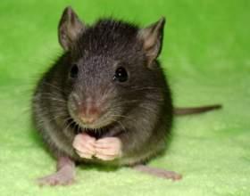 К чему снится крыса фото