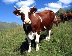 Как доить корову фото