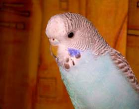 Как искупать попугая фото
