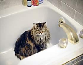 Как купать кошку фото