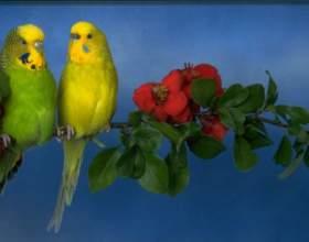 Как купать волнистых попугаев фото