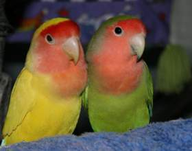 Как мыть волнистых попугаев фото