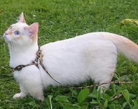 Как надеть поводок на кошку фото