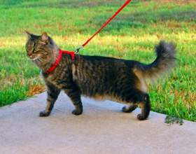 Как надевать шлейку на кошку фото