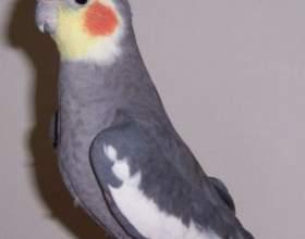 Как научить говорить попугая кореллу фото