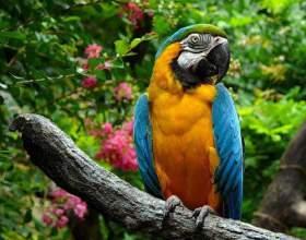 Как научить самку попугая говорить фото