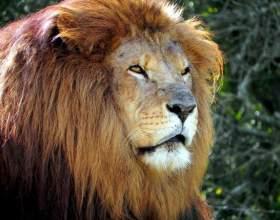 Как научиться рисовать льва фото