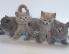 Как определить британского котенка фото