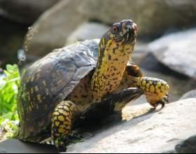 Как определить возраст черепахи фото