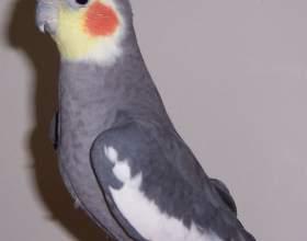 Как определить возраст попугая кореллы фото