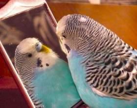 Как определить возраст попугая фото