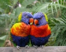 Как отличить попугая неразлучника-самца от самки фото