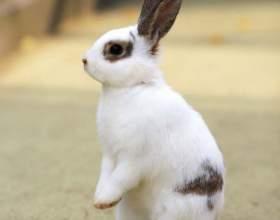 Как отличить самку кролика фото