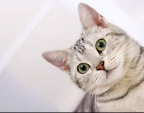 Как почистить коту уши фото