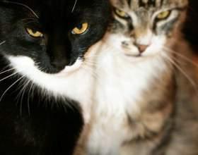 Как подружить взрослых кошек фото
