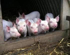 Как построить сарай для свиней фото