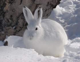 Как правильно ставить петли на зайца фото