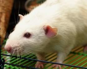 Как приручить крысу фото