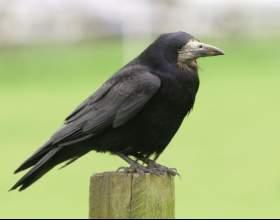 Как приручить  ворона фото