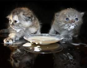 Как приучить котенка к молоку фото