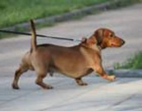 Как приучить щенка ходить в туалет на улице фото