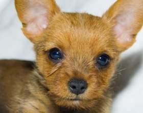 Как приучить щенка к лотку фото