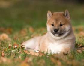 Как приучить щенка к туалету фото