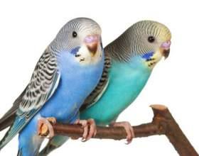 Как различить пол волнистого попугая фото