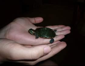 Как разводить черепах фото