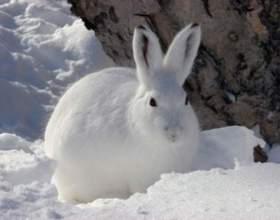 Как ставить капкан на зайца фото
