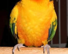 Как учить попугая фото
