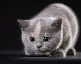 Как выбрать котенка-британца фото