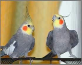 Как выбрать попугая корелла фото