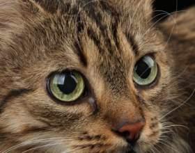 Как выбрать породу кошки фото
