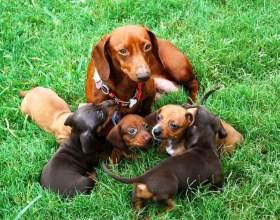 Как выбрать щенка таксы фото
