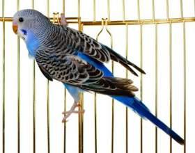 Как выбрать волнистого попугая фото