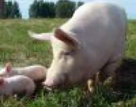 Как выращивать свиней фото