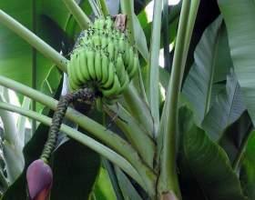 Как вырастить банановую пальму фото