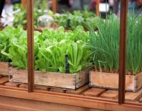 Как вырастить зелень в теплице фото