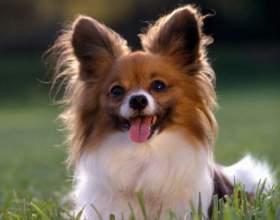 Течка у собак: что это такое и как она проходит фото
