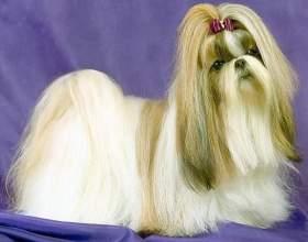 Тибетская порода ши-тцу - собака, у которой выпадают глаза фото
