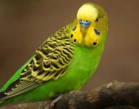Учим говорить волнистого попугая фото